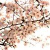 桜満開!東京丸の内のオススメお花見スポットと周辺スポット